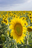 Sunflower, Species, Helianthus annuus, crop landscape, Andalusia Royalty Free Stock Image