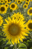 Sunflower, Species, Helianthus annuus, crop landscape, Andalusia Stock Photo