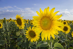 Sunflower, Species, Helianthus annuus, crop landscape, Andalusia Stock Image