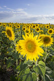 Sunflower, Species, Helianthus annuus, crop landscape, Andalusia Stock Photos