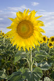 Sunflower, Species, Helianthus annuus, crop landscape, Andalusia Royalty Free Stock Photography