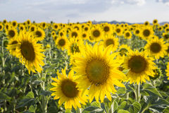 Sunflower, Species, Helianthus annuus, crop landscape, Andalusia Royalty Free Stock Photos