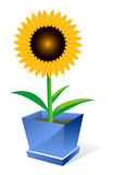 Sunflower spot concept Royalty Free Stock Photo