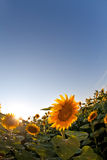 Sunflower in spring field. Vertical shot Royalty Free Stock Photography