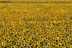 Sunflower spring nature yellow yellow stock images