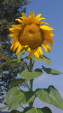Sunflower. In springtime royalty free stock image
