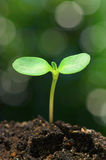 Sunflower sprout on bokeh background.(vertical). Closeup of sunflower sprout royalty free stock images
