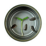 Sunflower sprout in cans Royalty Free Stock Image