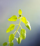 Sunflower sprout in opposite light closeup Stock Photography