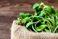 Sunflower sprout Royalty Free Stock Photo