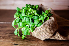 Sunflower sprout Stock Images