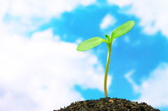 Sunflower sprout on sky background.(horizontal) Royalty Free Stock Photos