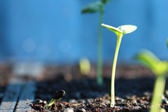 Sunflower sprouting/sunflower seed germinated on soil/new born o. Sunflower seed sprouting on black soil with blurry and blue background Royalty Free Stock Photography
