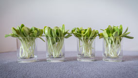 Sunflower sprouts Royalty Free Stock Photos