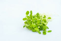 Sunflower sprouts Stock Image