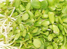 Sunflower sprouts Royalty Free Stock Photo