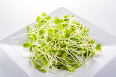 Sunflower sprouts isolated on white background Stock Image