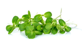 Sunflower sprouts isolated on the white background Stock Photos