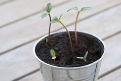 Sunflower sprouts in a pot Royalty Free Stock Photos