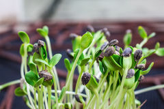 Sunflower sprouts Stock Photography