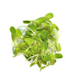 Sunflower sprouts Stock Photos