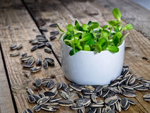Sunflower sprouts in the white bowl Stock Photo