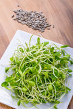 Sunflower sprouts Stock Images