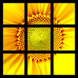Sunflower Squared. A ready made image of a sunflower behind 9 identical squares, all ready for the designer to add to, or blank his own squares out stock illustration