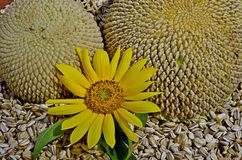 Sunflower stages Stock Photography