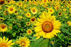 Sunflower standing above all Royalty Free Stock Photos