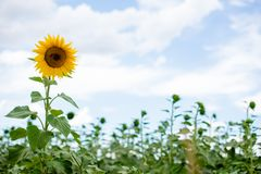 Sunflower standing in front of sky Royalty Free Stock Image