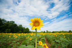 Sunflower. Standing out in a field royalty free stock photography