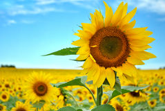 Sunflower Standing Tall royalty free stock images