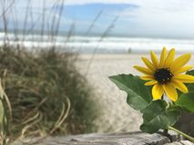 Sunflower Stands Out on Beach Boardwalk Royalty Free Stock Images