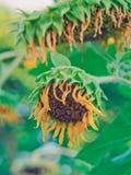 Sunflower started to wilt Stock Photo