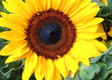 Sunflower on Steroids. This bright sunflower caught my eye at a local farmer`s Market Stock Photo