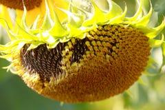 Sunflower - Stock Photos Royalty Free Stock Photo