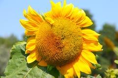 Sunflower - Stock Photos Stock Image