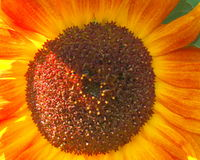 Sunflower - Stock Photos Royalty Free Stock Images