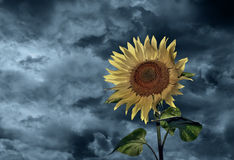 Sunflower and stormy sky. Closeup of blooming sunflower with stormy sky background Stock Photo