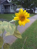 Sunflower Suburb. A sunflower growing in a suburban neighborhood Stock Photos