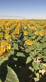 Sunflower girasoles stock photo