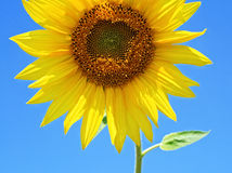 Sunflower in summer. Bright colored sunflower on a sunny day royalty free stock photos