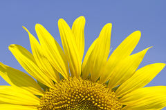 Sunflower in summer Royalty Free Stock Image