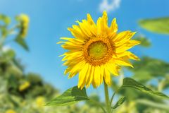 Sunflower. On a summer background Royalty Free Stock Photos