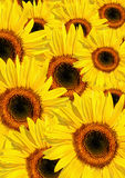 Sunflower Summer Beauty Royalty Free Stock Photos