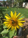 Sunflower in summer Royalty Free Stock Photo