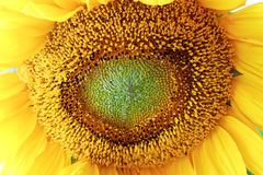 Sunflower summer bloom close-up. Close-up of a sunflower with its center in detail. Bright summer colors Royalty Free Stock Images