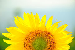Sunflower, summer day Royalty Free Stock Images
