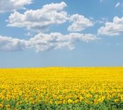 Sunflower on summer field Royalty Free Stock Image